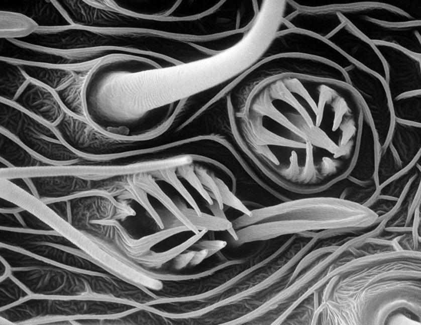 """Снимок """"Органы осязания"""", сделанный электронным микроскопом. На фото: простейшие кожные органы чувств, отвечающие за осязание, вкус и обоняние. Волоски позволяют насекомому не только находить пищу, но и обнаруживать феромоны, выделяемые представителем противоположного пола."""