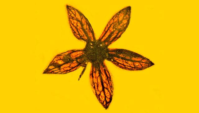 Палеонтологи нашли в янтаре из Бирмы цветы возрастом в 100 миллионов лет