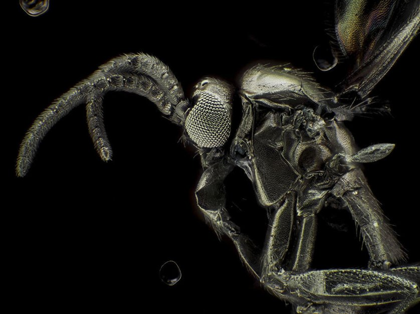 """Снимок """"Золотой грибной комарик"""" фотографа Сергея Димченко. На фото - представитель отряда двукрылых сциарид, покрытый очень тонким слоем золота для того, чтобы создать его визуализацию под электронным микроскопом."""