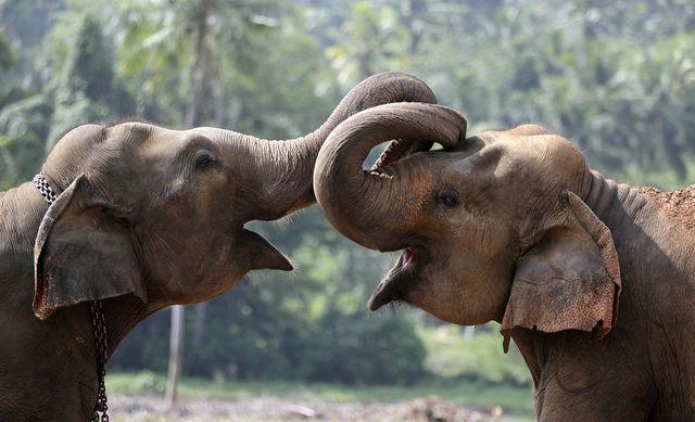 Несмотря на большую толщину, кожа слона необыкновенно чувствительна. Например, он может чувствовать, когда ему на спину садится муха. Кроме того, их кожа уязвима, слоны могут даже обгореть на солнце. Поэтому животные стараются прятаться в тени или бросают песок на голову и спину, чтобы защитить кожу от солнца.