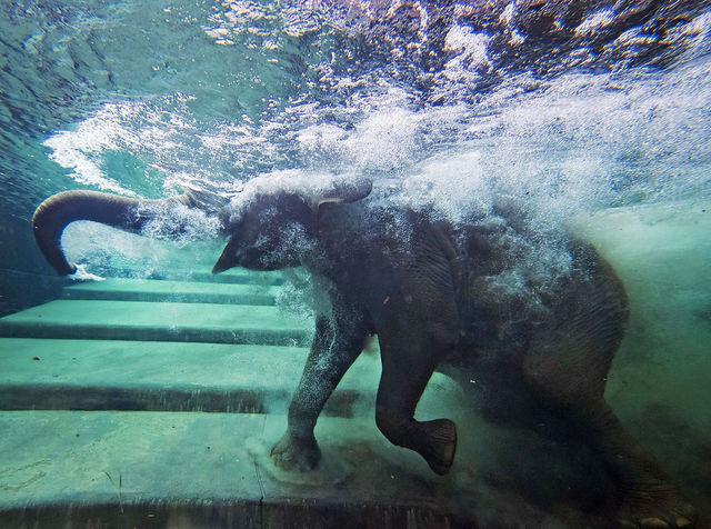 Слоны любят воду и могут определить ее запах на расстоянии до 8 км. Кроме того, они отлично плавают.
