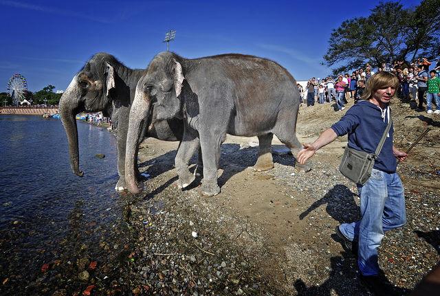 В среднем взрослый слон весит 3,5 т при росте в холке 2,7 м, но бывают и крупные самцы - до 6 т при росте 3 м.