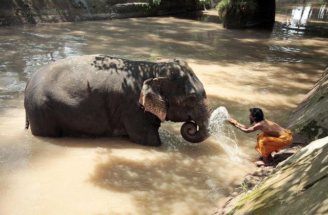 Слоны обладают самым тяжелым мозгом среди сухопутных животных, который весит 5 кг.