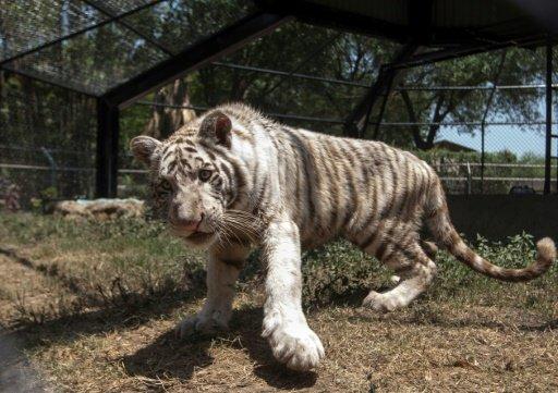 إطلاق اسم جينياك على نمر صغير في المكسيك