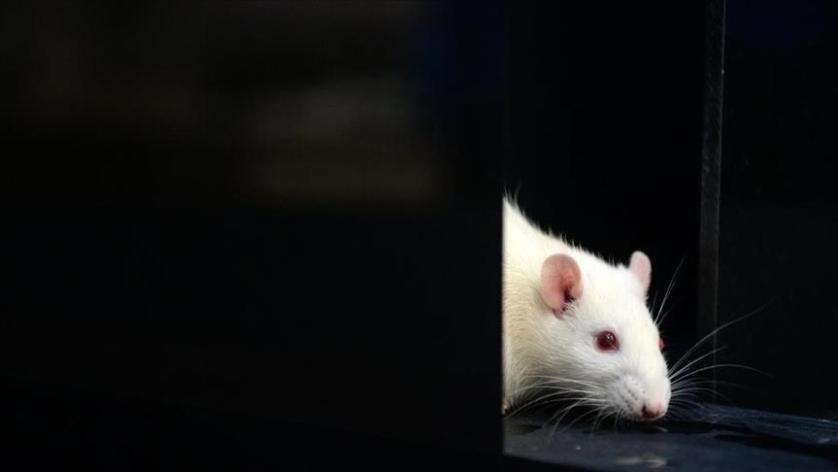 استيلاد فئران سليمة من ذكور عقيمة باستخدام الخلايا الجذعية