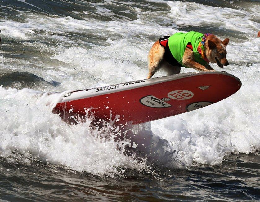Чемпионат по собачьему серфингу Surf City Surf Dog прошел на калифорнийском пляже Хантингтон-Бич 23 сентября. На фото: пес Скайлер.