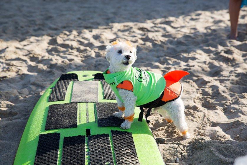 Участник турнира по собачьему серфингу Surf City Surf Dog пес по кличке Эйнштейн.