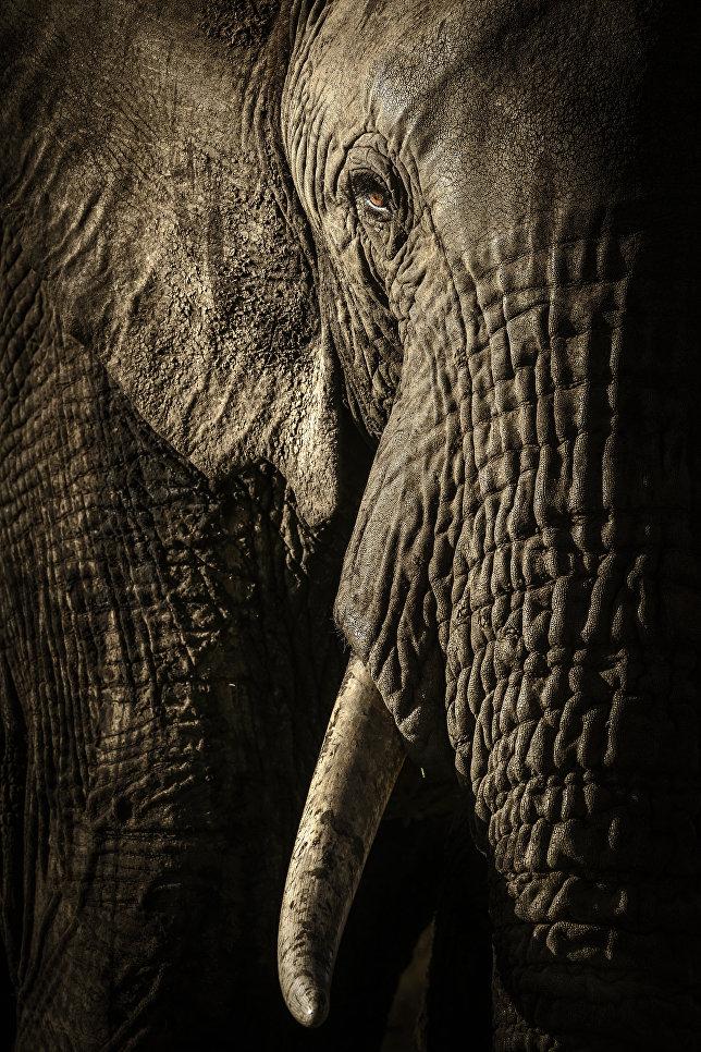 """Работа фотографа из Новой Зеландии/Великобритании Дэвида Ллойда """"Власть матриарха"""" (The power of the matriarch). Снимок был сделан в кенийском заповеднике Масаи-Мара на закате. Эта самка привела к водопою стадо из десяти слонов."""