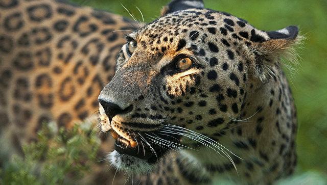 В Индии автозавод приостановил работу из-за разгуливавшего там леопарда