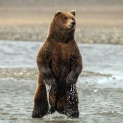 Изменение климата заставило медведей сменить рыбу на бузину