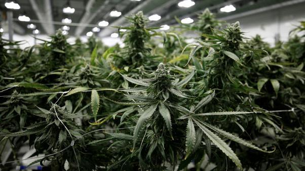 فيرمونت تصبح تاسع ولاية أمريكية تجيز تعاطي الماريجوانا