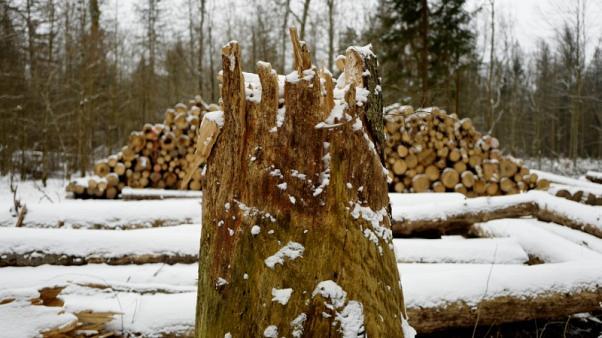 محكمة أوروبية: بولندا خرقت القانون بقطع أشجار غابة بيالوفيزا