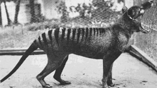 В Австралии обнаружили считавшегося вымершим тасманийского волка