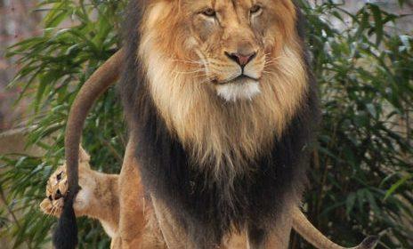 Kак львенок укусил папашу за хвост и чем это кончилось