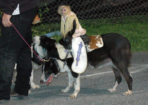 cowboy-monkey-rodeo20