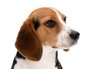 jay-beagle