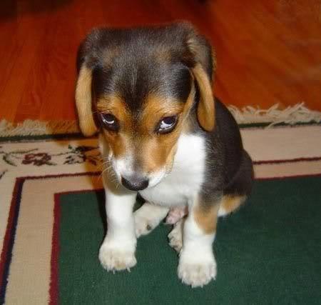 sad-little-beagle