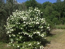 A Bush with White Flowers