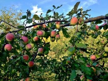 Russian Apples