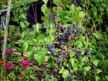 Russian Grapes