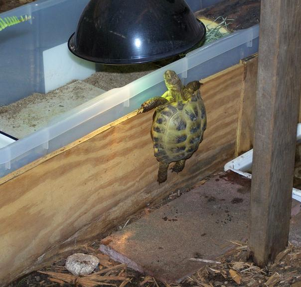 A Russian Tortoise climbing