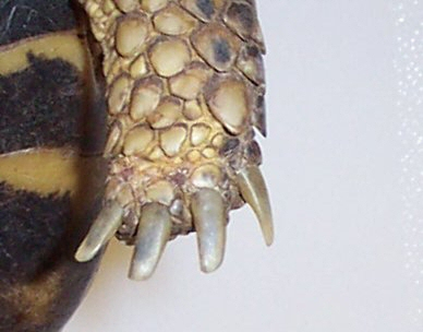 russian tortoise toenails