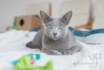 Russischblau Katze Fee-28