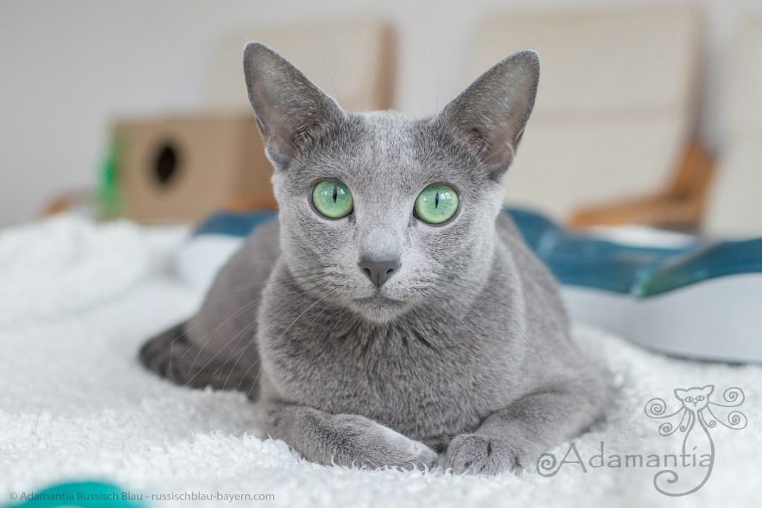 Russisch Blau Katze Fee