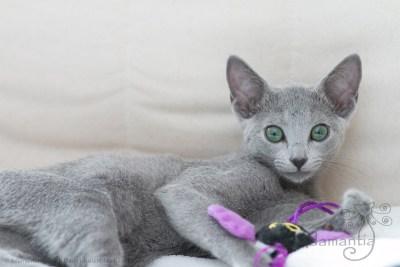 Russischblau Katze Mia-18