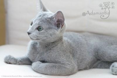 Russischblau Katze Mia-4