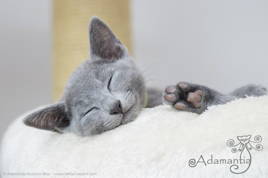 Russischblau Kitten aus M-N Wurf ebtspannt auf Kratzbaum