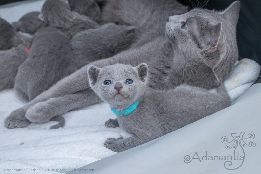 Russisch blau Kitten der kleine Gandalf