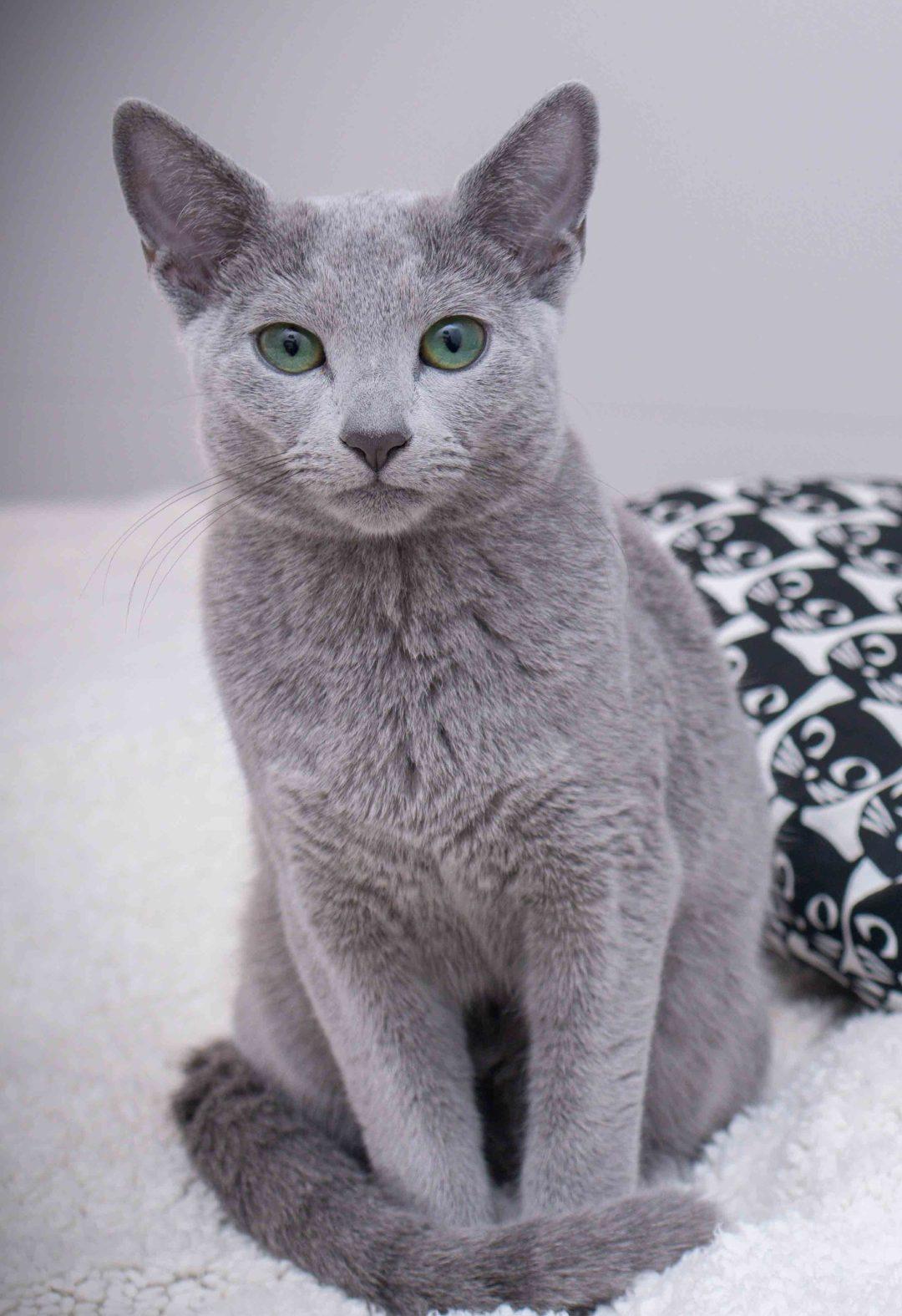 Russisch Blau Katze Francesca