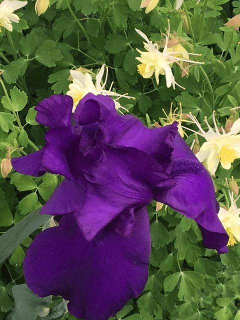 Iris and yellow columbine