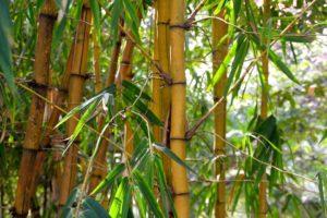 Prachtige plant Bamboe