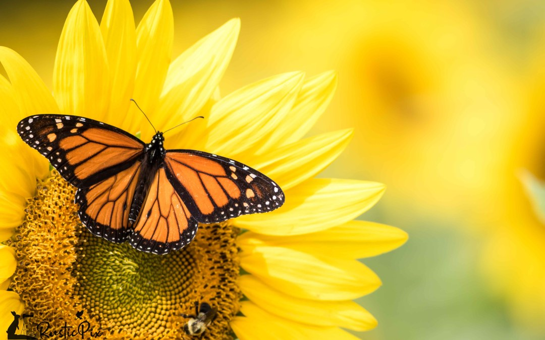 Monarch and Bumblebee on Sunflower