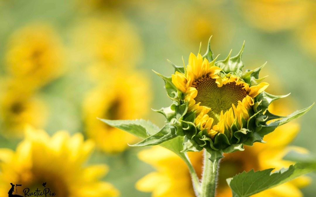 black oil sunflower heart shape
