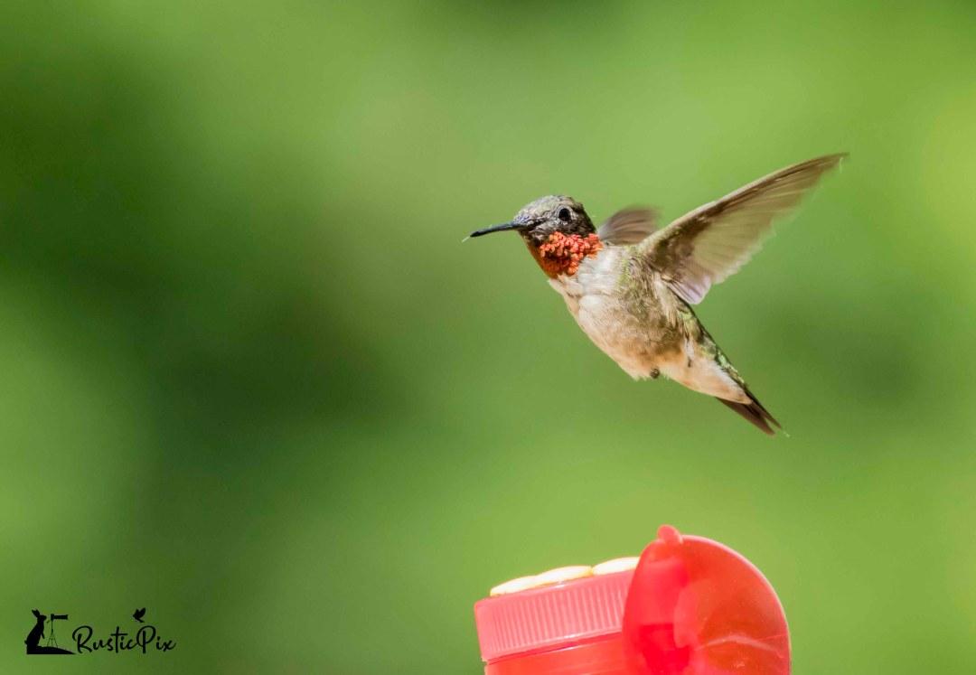 hummingbird hovering over feeder
