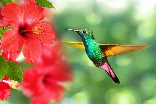 hummingbird red hibiscus