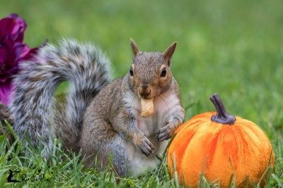 Squirrel eats peanut with pumpkin fall decor