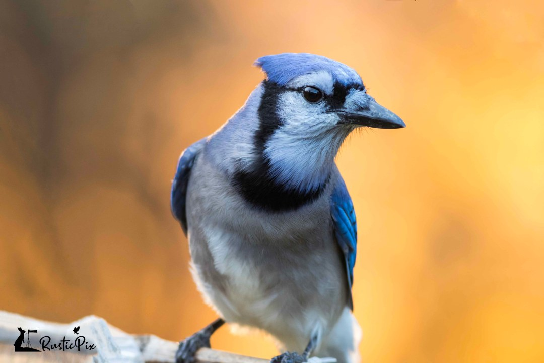 blue jay fall foliage right