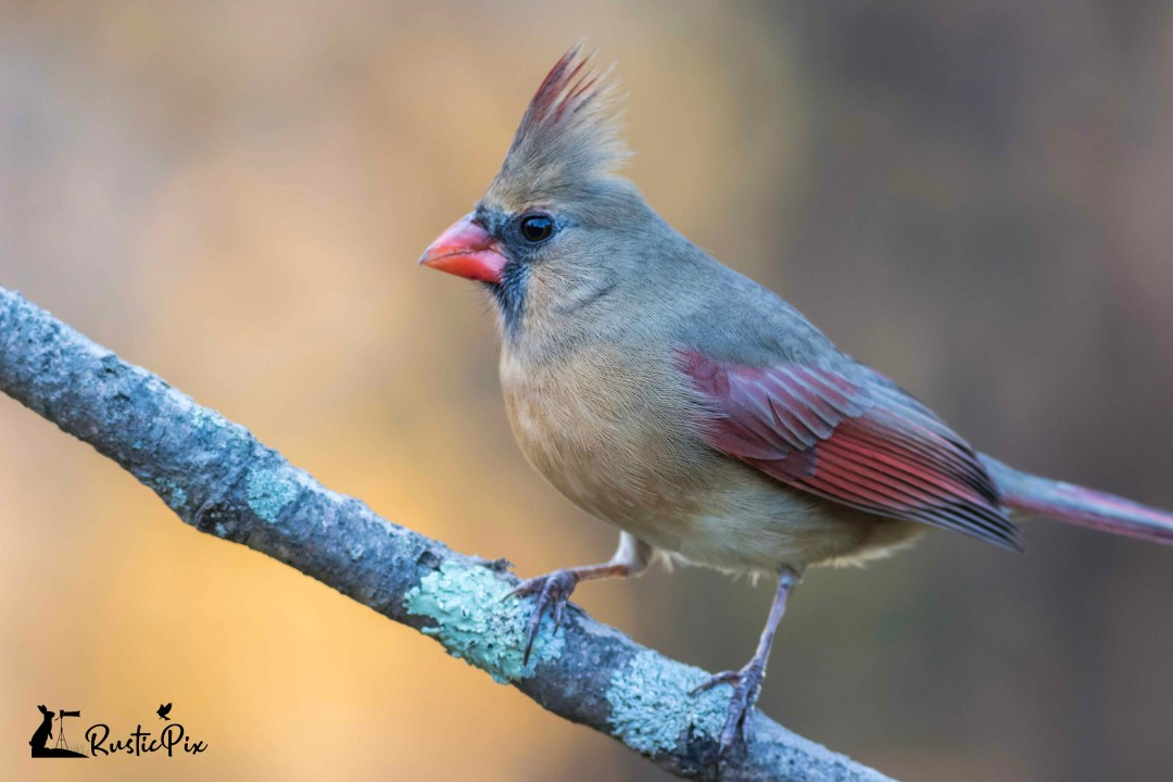 female cardinal gold