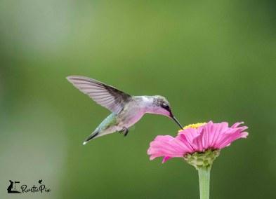 hummingbird zinnia