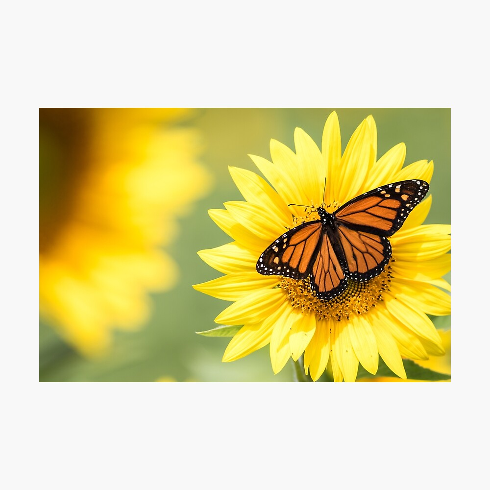 male monarch on sunflower
