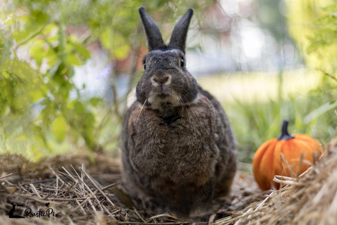 small gray rabbit with pumpkin soft light