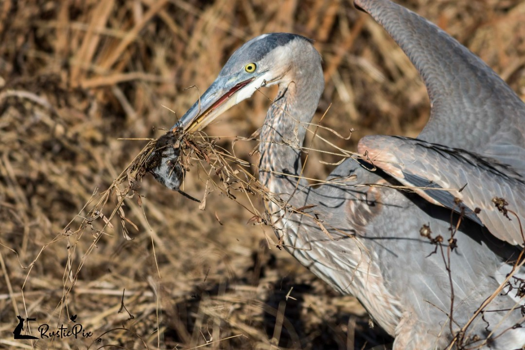 Great Blue Heron vs. Vole