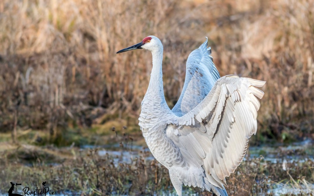 Sandhill Crane wings