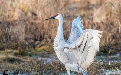 Sandhill Cranes at the Wallkill River NWR
