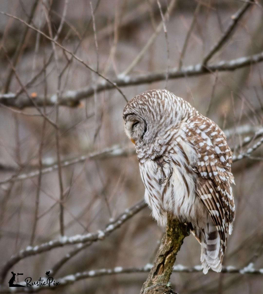 barred owl head turn