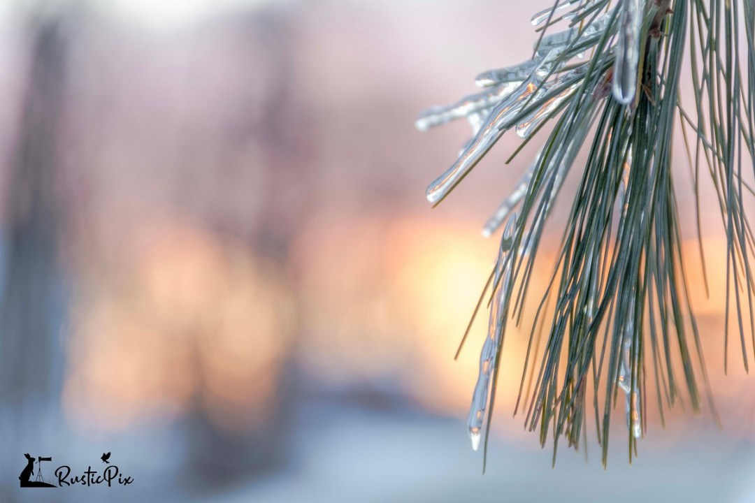 pine tree with ice sunrise